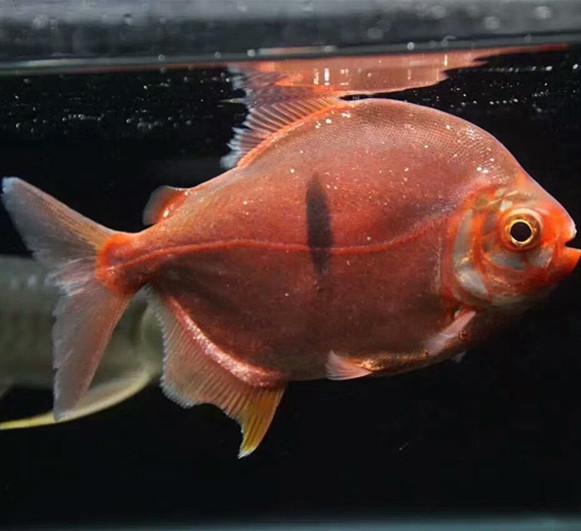 鄂州玫瑰银版鱼 鄂州水族新品 鄂州龙鱼第2张