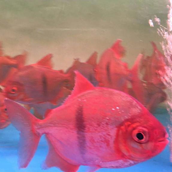 鄂州玫瑰银版鱼 鄂州水族新品 鄂州龙鱼第3张