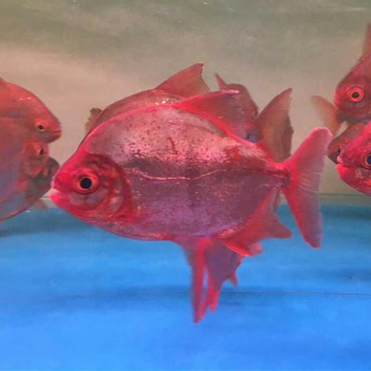 鄂州玫瑰银版鱼 鄂州水族新品 鄂州龙鱼第1张