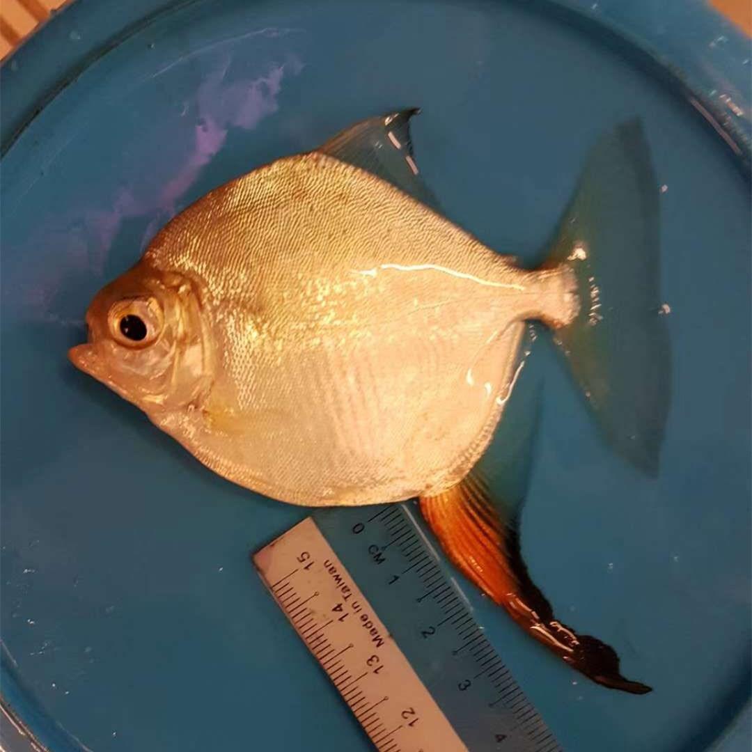 鄂州红勾银版鱼